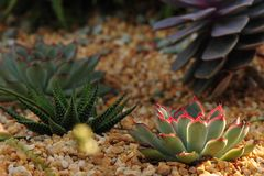 Red tip cactus plant. Red tip of a cactus plant stock images