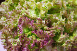 Red-tip leaf lettuce Royalty Free Stock Photo