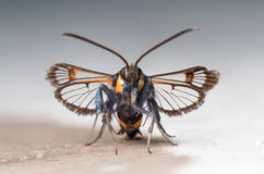 Red-tipped Clearwing moth (Synanthedon formicaeformis). Front view Royalty Free Stock Photo