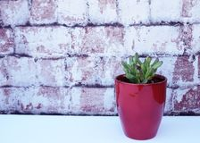 Red tipped succulent in a red vase against brick background. Stock Photo