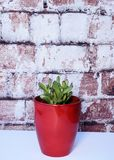 Red tipped succulent in a red vase against brick background. Stock Image
