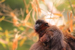 Red titi baby monkey. Beautiful small red titi baby monkey on the back of his mother stock photography