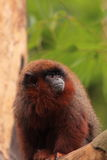 Red titi monkey Stock Image