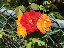 Red to orange roses. Roses that change from red to orange as they age Royalty Free Stock Image
