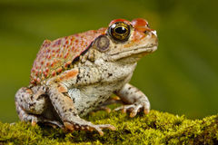 Red Toad. Sitting on a bed of moss Stock Photography