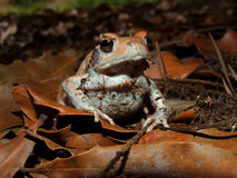 Red toad Royalty Free Stock Photo