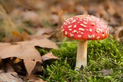 Red toadstool in autumn forest Royalty Free Stock Photography