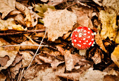 Red toadstool between autumn leaves Stock Photos