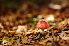 Red toadstool Stock Image