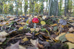 A red toadstool. In forest Stock Photography