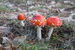 Red toadstool in a forest Royalty Free Stock Photo