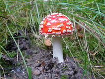 Red toadstool fungus. Shoots out of the ground Stock Images