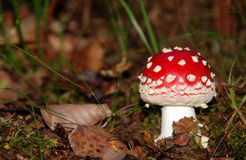 Red toadstool Stock Photos