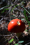 Red Toadstool Royalty Free Stock Photography