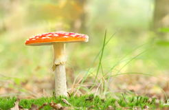 Red toadstool standing in the grass on a sunny autumn day Stock Images