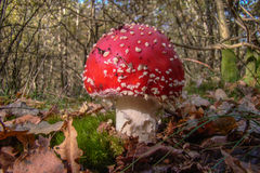 Red toadstool Stock Images