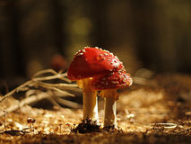 Red toadstool Royalty Free Stock Photos
