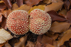 Red toadstools. Amanita muscaria. Two mushrooms red toadstool huddled together, wrapped in leaves beech. View from above Royalty Free Stock Photo