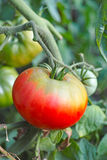 Red tomato on a branch Royalty Free Stock Photography