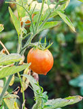 Red tomato, edible red fruit, berry of the nightshade Solanum Royalty Free Stock Photography
