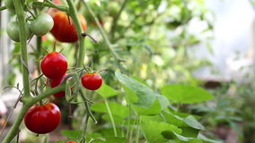 Red tomato in hothouse stock video