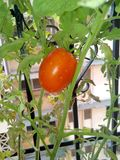 Red tomato. A juicy red tomato ready for giving out its juices Royalty Free Stock Image