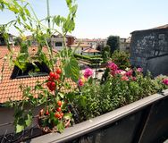 Red tomato plant in the balcony Stock Images