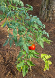 Red tomato plant vertical view Stock Image