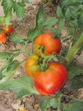 Red tomato plants in a home made vegetable garden Royalty Free Stock Images