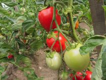 Red tomato plants in a homemade vegetable garden. Red tomato plants in  a homemade vegetable garden Royalty Free Stock Photo