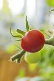 A red tomato (Solanum lycopersicum) Royalty Free Stock Photos