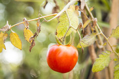 Red tomato Royalty Free Stock Images