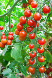 Red tomatoes. Growing in hothouse. Ripe tomatoes on a background a green-leaf Royalty Free Stock Photo