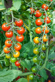 Red tomatoes. Growing in hothouse. Ripe tomatoes on a background a green-leaf Royalty Free Stock Images