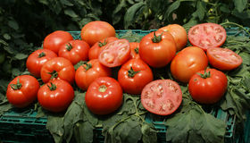 Red tomatoes. Very nice red round tomatoes just harvested Royalty Free Stock Photo