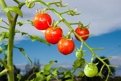 Red Tomatoes. A cluster of red cherry tomatoes against a blue sky Stock Image