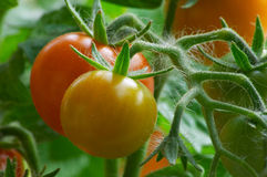 Red tomatoes. Nature Royalty Free Stock Photography