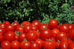 Red tomatoes. Lots of bright juicy red tomatoes closeup Royalty Free Stock Photo