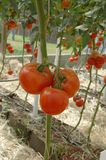 Red tomatoes. A red tomatoes plantation Stock Photos