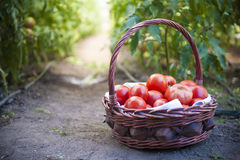 Red tomatoes. In a basket Royalty Free Stock Photography