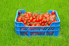 Red tomatoes in a blue plastic box Stock Photo