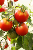 Red tomatoes. On a branch in the garden Royalty Free Stock Photography