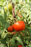 Red tomatoes. On a branch in the garden Royalty Free Stock Photos