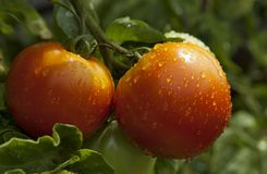 Red tomatoes covered with rain droplets. Close up of tomatoes ripening on plant, covered with tiny water droplets stock photo