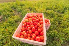Tomatoes in the field to prepare the market. Red tomatoes in the field to prepare the market Royalty Free Stock Image