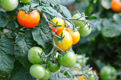 Red tomatoes in the garden. Stock Photo