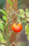 Red tomatoes in the garden Royalty Free Stock Photos