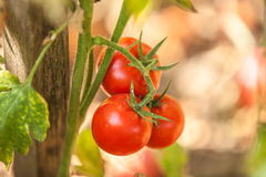 Red tomatoes in the garden Stock Photo