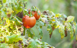 Red tomatoes in the garden Royalty Free Stock Image