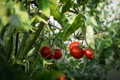 Tomatoes on a branch 2. Red tomatoes on a green branch in garden royalty free stock photos